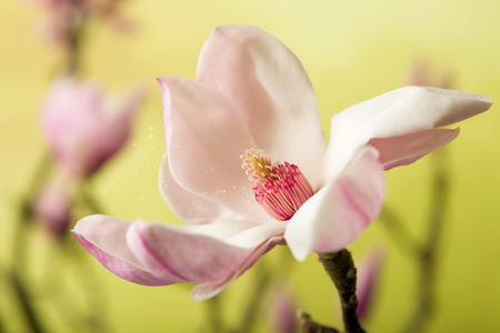 hayfever: Pollen spreading in the wind leaving a full blossom magnolia flower in springtime