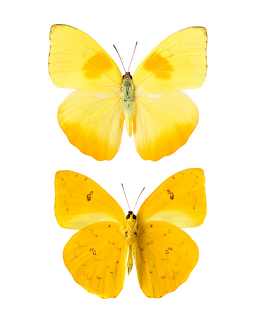 pieridae: Yellow butterfly from Tingo Maria in Peru, front and backside, Phoebis Philea Philea in Latin, orange-barred sulphur in English