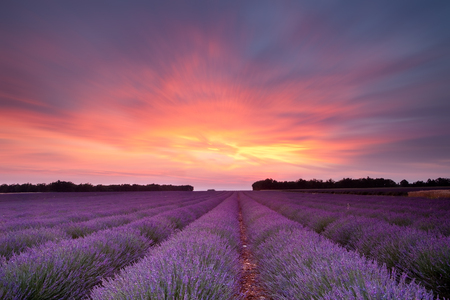 lavande: Sunset over a summer lavender field in Provence, France