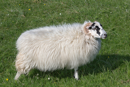 breed: Scottish sheep as found on the Isle of Lewis and Harris, Outer Hebrides, Scotland Stock Photo