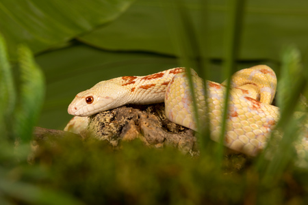 bull snake: Yellow albino bullsnake hiding in high moss