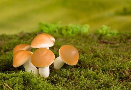 Fairytale scene with brown mushrooms as gnome backdrop