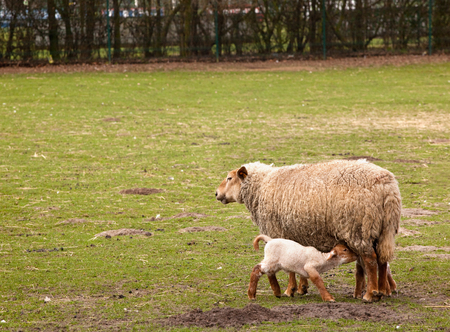 Grassy field with first springtime lamb and mother Stock Photo