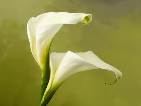 White specimen of beautiful fresh calla flowers  Stock Photo