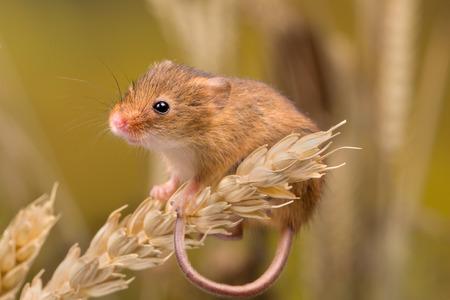 Micromys minutus oder Ernte-Maus im Weizenfeld Standard-Bild - 85581603