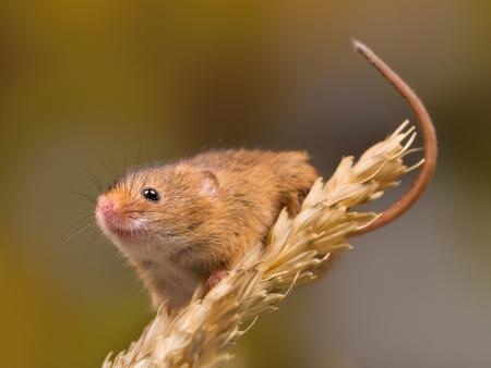 Micromys minutus oder Ernte-Maus im Weizenfeld Standard-Bild - 88289056