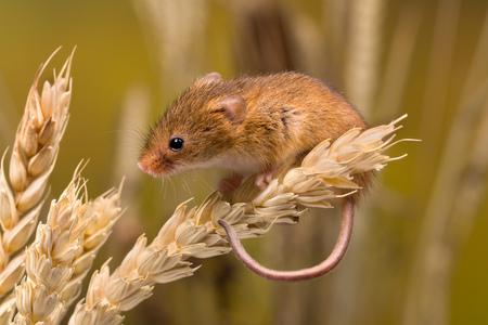 Micromys minutus o Harvest Mouse en el campo de trigo