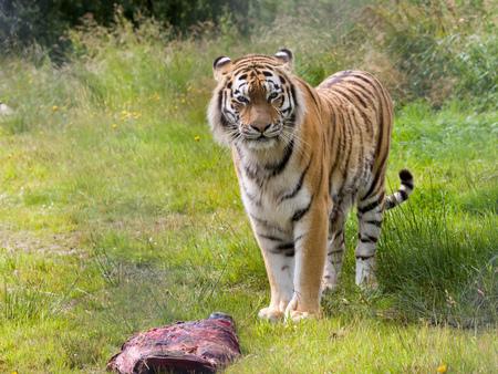 ロシア、中国、韓国で見られる絶滅危惧のアムール虎種