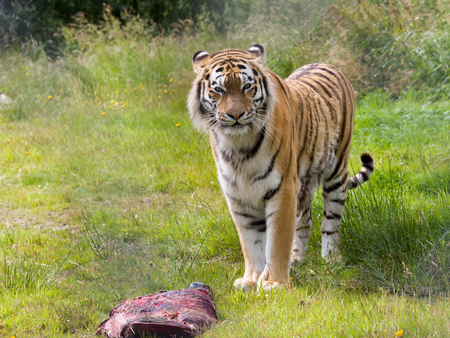 러시아, 중국, 한국에서 발견되는 멸종 위기에 처한 아무르 호랑이 종 스톡 콘텐츠