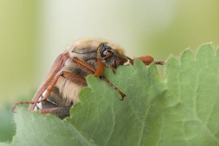 Maybeetle in springtime eating leaves