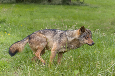 Iberian wolf as found in Spain and Portugal 写真素材