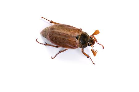 Isolated maybug or maybeetle on white background