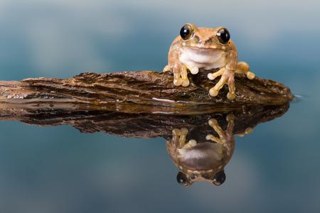 La rana arbórea de ojos dorados de la Misión o la rana lechera del Amazonas (Trachycephalus resinifictrix) es una rana arbórea grande de la selva amazónica