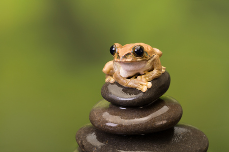 Leptopelis vermiculatus or Peacock Tree Frog as found in Tanzania sitting on a stack of boulders Stock Photo