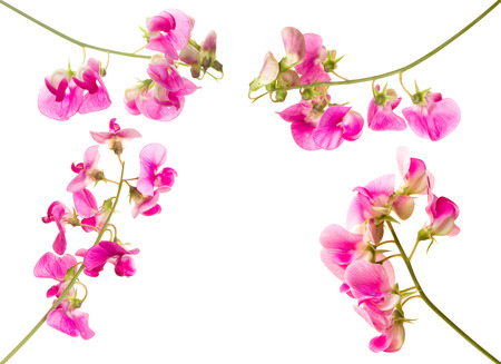 Soft pink sweet pea lathyrus flowers isolated against a white background Reklamní fotografie - 97582076