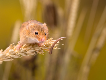 Micromys minutus or Harvest Mouse in wheat field Standard-Bild - 99885510