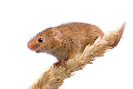 Micromys-minutus oder Ernte-Maus auf dem Weizengebiet Standard-Bild - 99901728
