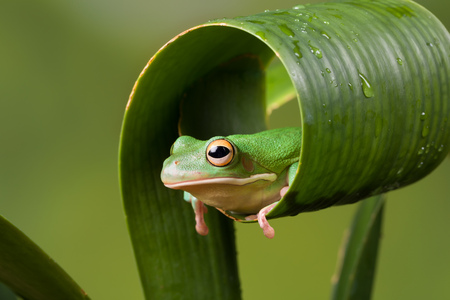White Lipped tree frog peeking out of a curled leaf