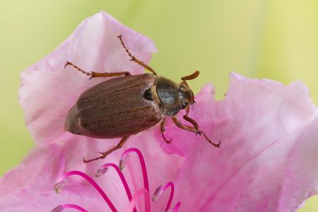 Maybug or cockchafer sitting on a pink flower in springtime