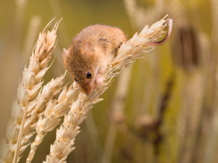 Micromys minutus or Harvest Mouse in wheat field Standard-Bild - 102438430