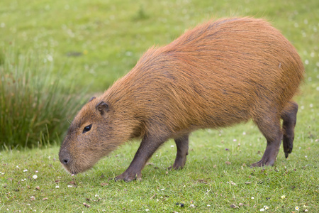 South American Capybara or hydrochaeris is the largest rodent in the world