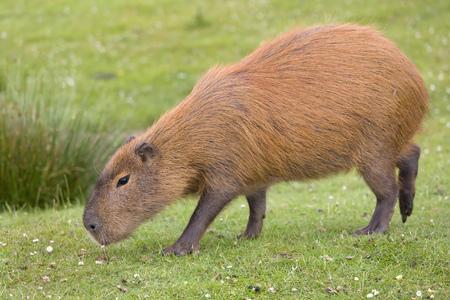 Zuid-Amerikaanse capibara of hydrochaeris is het grootste knaagdier ter wereld