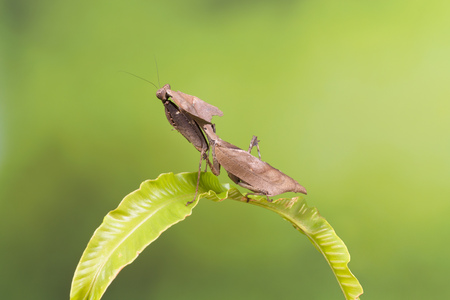 Adult specimen of a Ghost Mantis sitting on a green leaf Archivio Fotografico