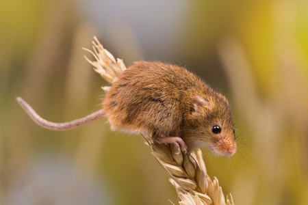 Micromys minutus or Harvest Mouse in wheat field Standard-Bild - 107016839