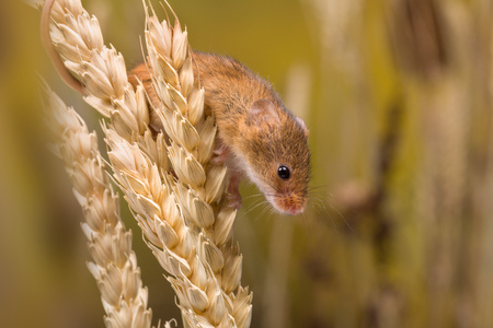 Micromys minutus or Harvest Mouse in wheat field Standard-Bild - 109171020