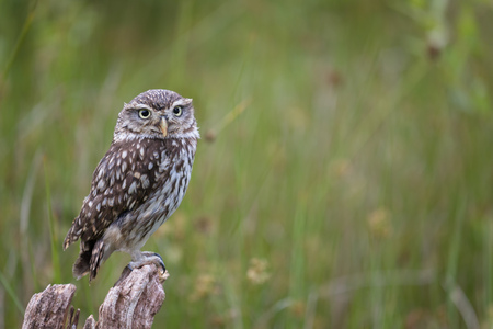 Little owl or Athene Noctua sitting on a fence post