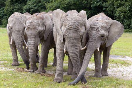 Herd of four elephants on grassland