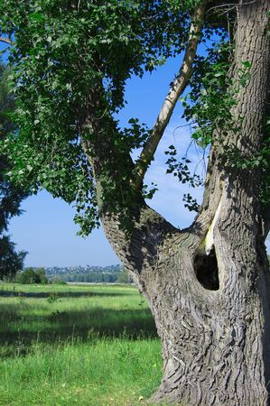 Old poplar tree on a green grass photo