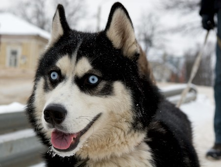 blue eye husky: Siberian husky (eskimo dog) walks in the city with it`s owner Stock Photo