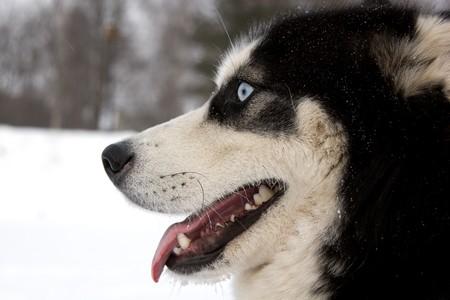 mouth opened: Husky dog muzzle with mouth opened Stock Photo