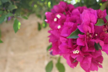 Bougainvillea flowers close up.Blooming bougainvillea.Bougainvillea flowers as a background.Floral background.