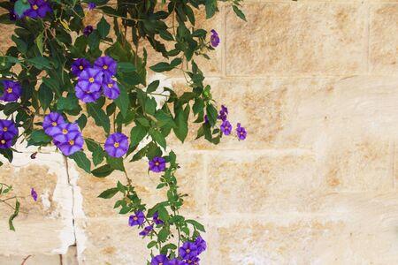 Purple Lobelia growing over a stone wall 写真素材