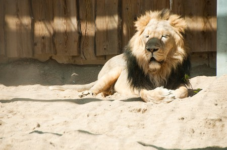 Lion Stock Photo - 7541199