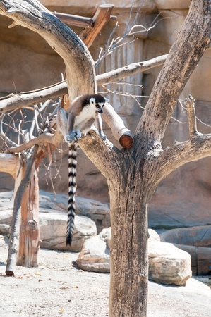 Ring tailed Lemur sitting photo