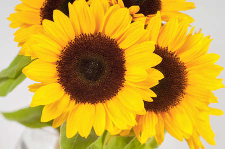 Sunflowers in a glass vase photo