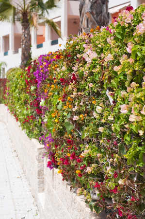 Fence of multicolored flowers bougainvillea in the city. Shallow depth of field. Stock Photo - 22347510