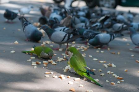 loros verdes: Tiro de las palomas de la alimentaci�n y dos loros verdes