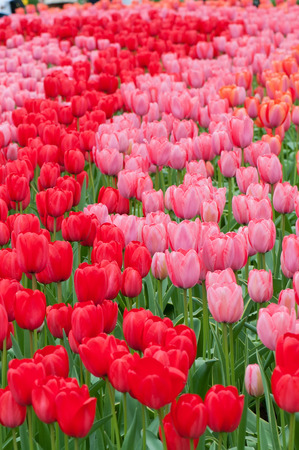 Flower beds of multicolored tulips Stock Photo