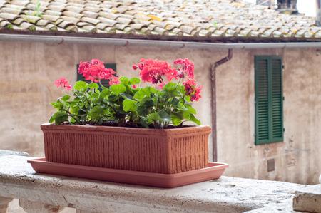 Red geranium flowers in pot photo