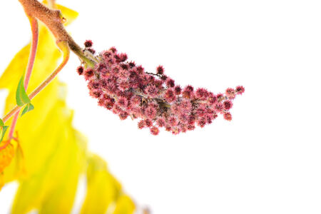 staghorn: Rhus typhina flower with yellow leaves
