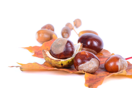 Chestnuts with autumn maple leaves photo