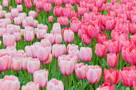 Pink and red tulips on the flowerbed photo