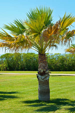 midday: Lonely palm in park in sunny midday