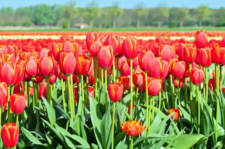 tulips field: Typical gigant red tulips field in Holland, blue sky