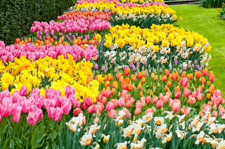Flower beds of red and pink tulips and narcissus in Netherland park photo