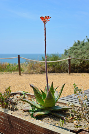aloe flower: Aloe flower in Praia da Rocha, Algarve region, Portugal